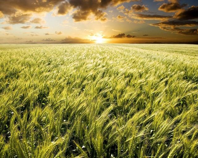 campo_di_grano_tramonto